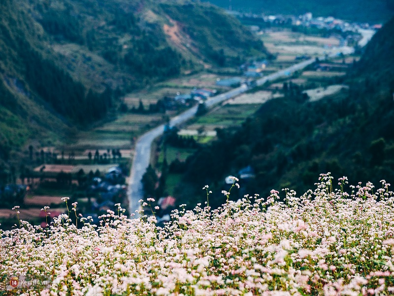 Top-4-most-beautiful-flowers-in-Sapa1
