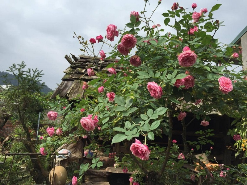 Top-4-most-beautiful-flowers-in-Sapa2