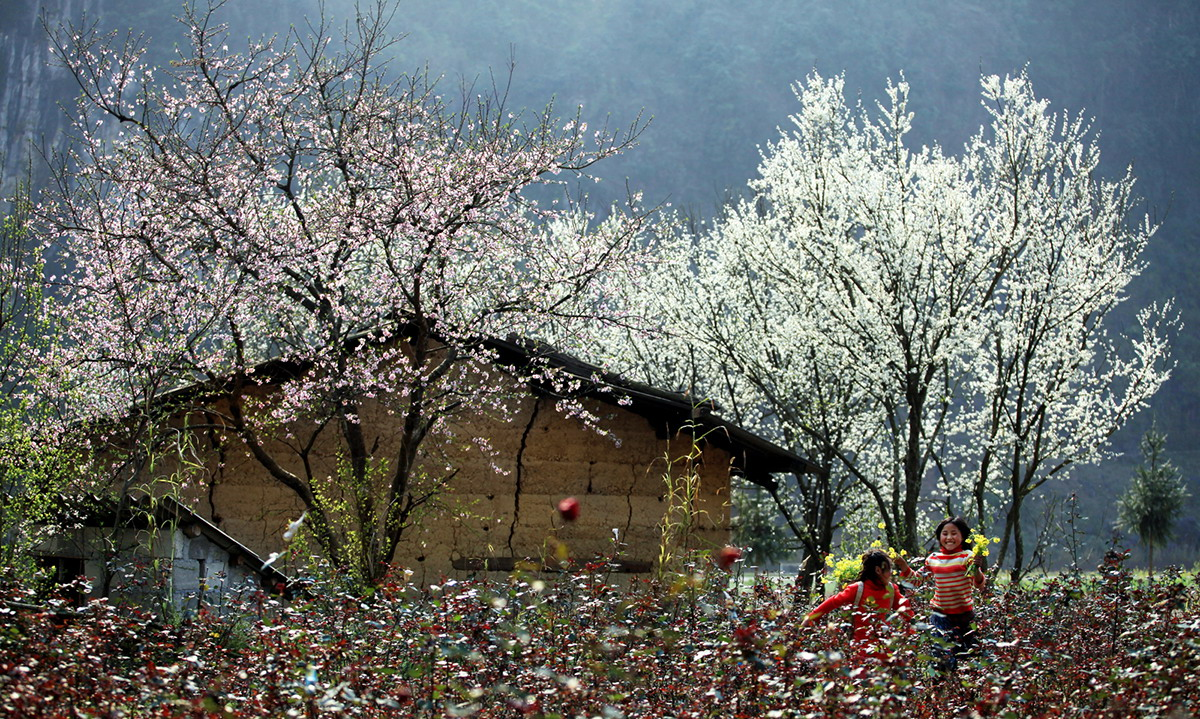 Ban flower – the natural beauty of the northwestern mountains
